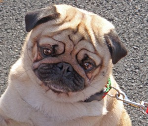 A pug, captivated by the number of fox-hunting hounds at the Middleburg, Virginia, Christmas parade.